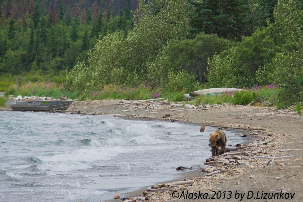 медведь идет по берегу озера в национальном парке Катмай на Аляске