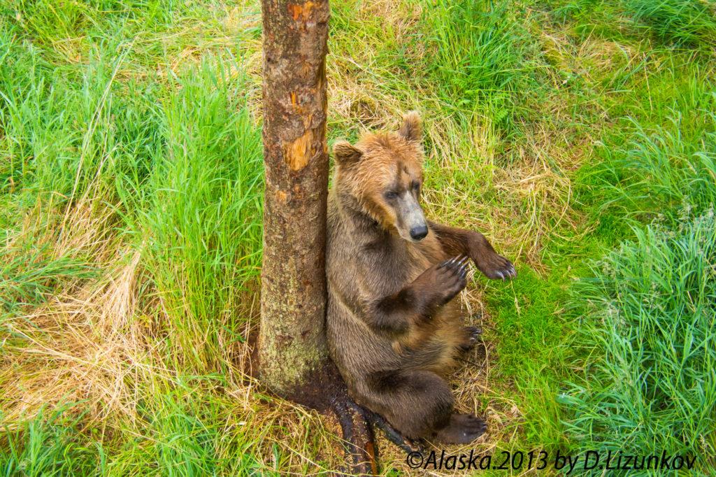 медведь чешет спинку об дерево, Национальный парк Катмай, Аляска