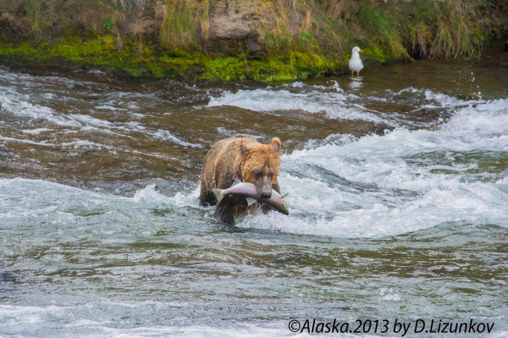 медведь поймал рыбу, чайка наблюдает в национальном парке Катмай на Аляске