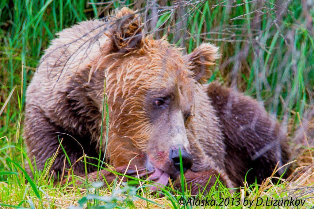 медведь-гризли чешет язык после обеда лососем, Национальный парк Катмай, Аляска