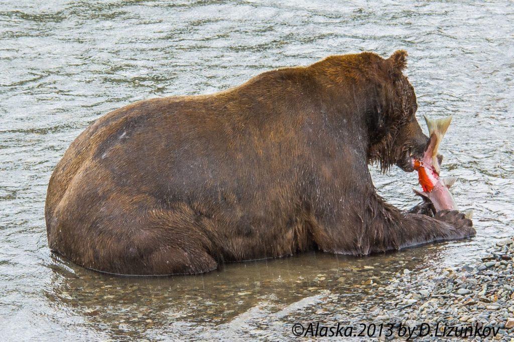 медведица ест лосось в национальном парке Катмай на Аляске
