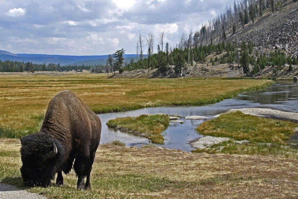 Национальные парки США: бизон,  Йеллоустоун
