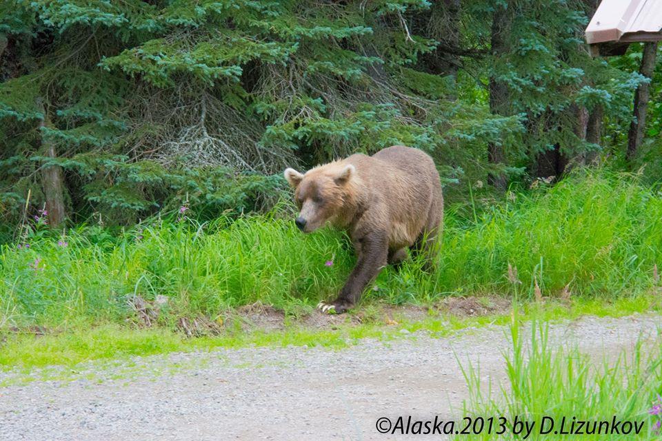 Национальные парки США: гризли