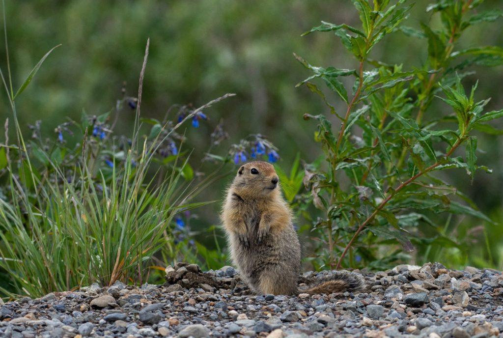 Национальный парк Денали. Суслик.