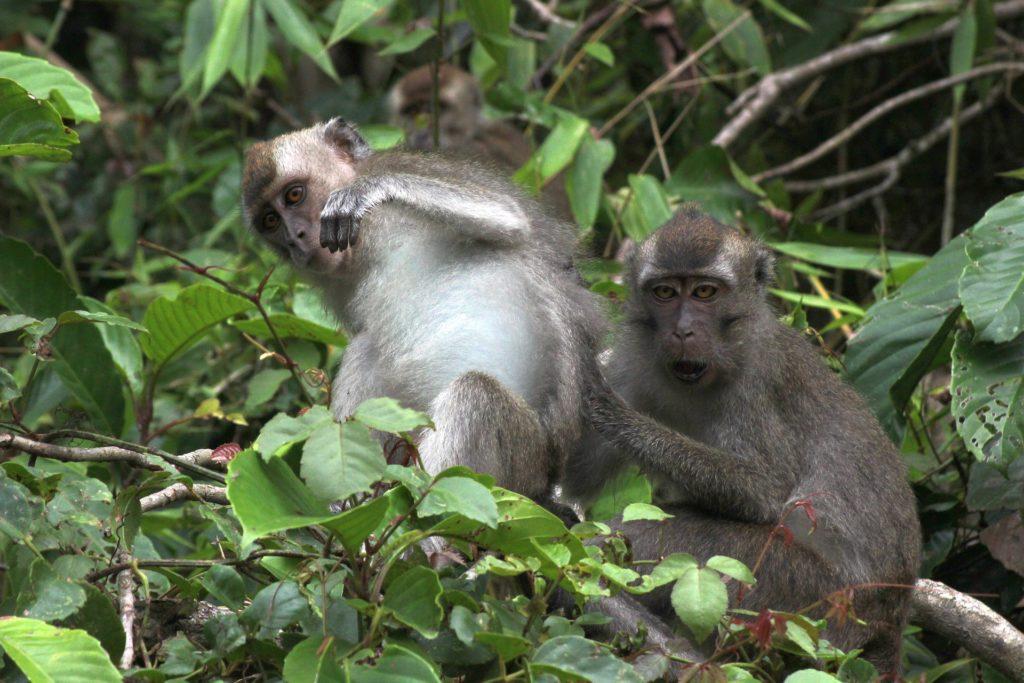 Макаки в джунглях возле реки Кинабатанган