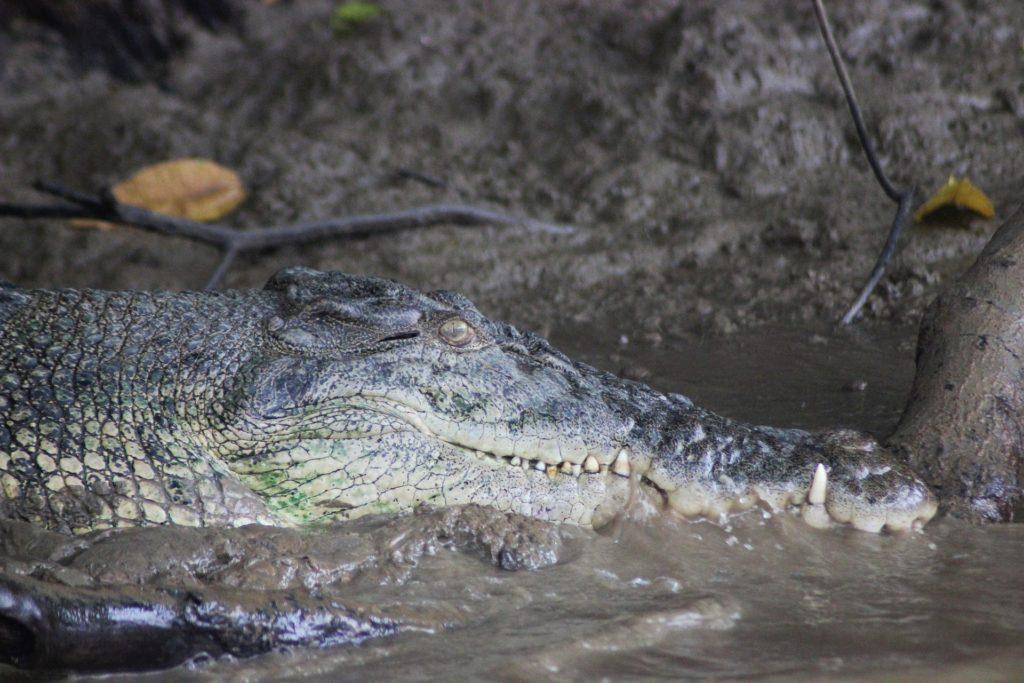 крокодил на реке Кинабатанган
