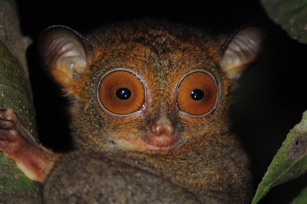 призрачная обезьяна в джунглях малайзии
