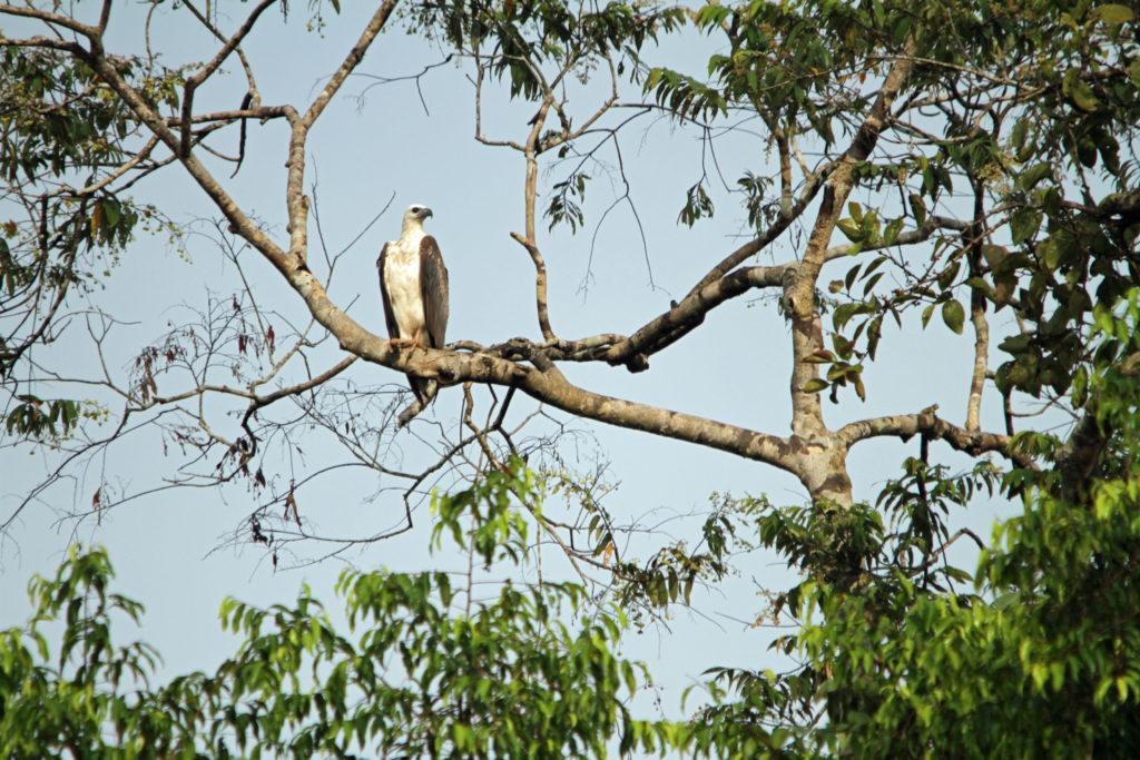Орел возле реки Кинабатанган