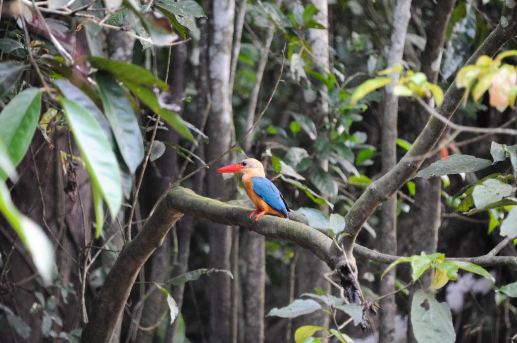 Зимородок возле реки Кинабатанган