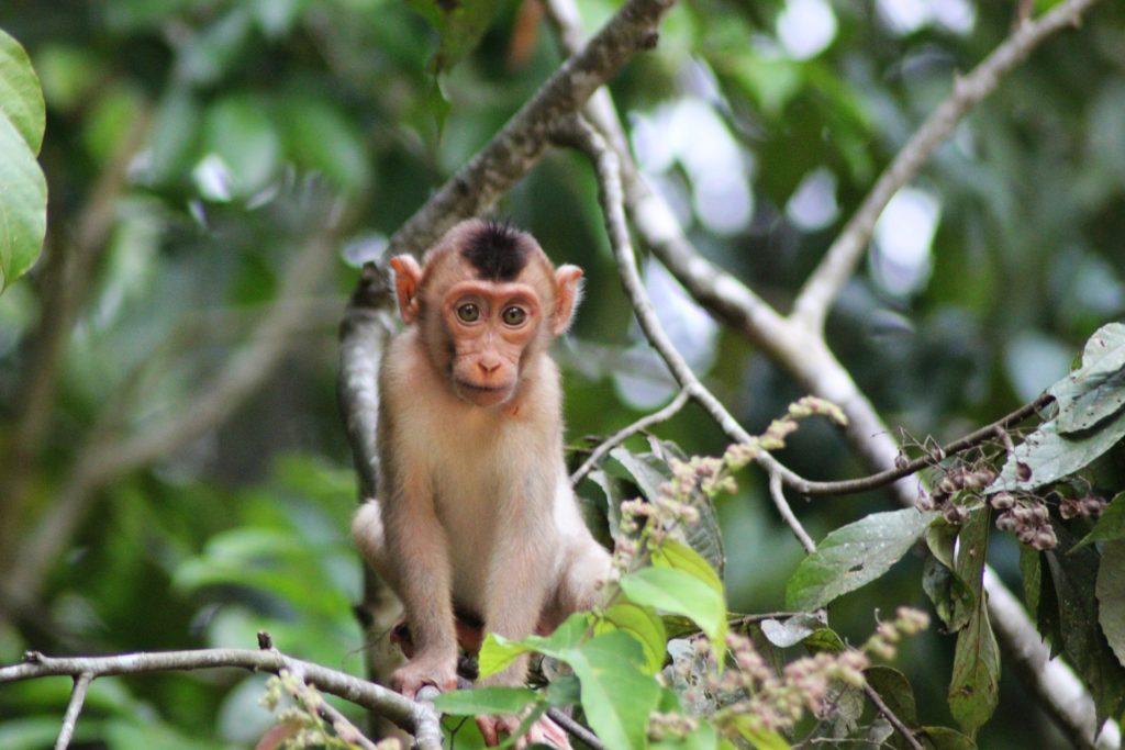 обезьяна на реке Кинабатанган