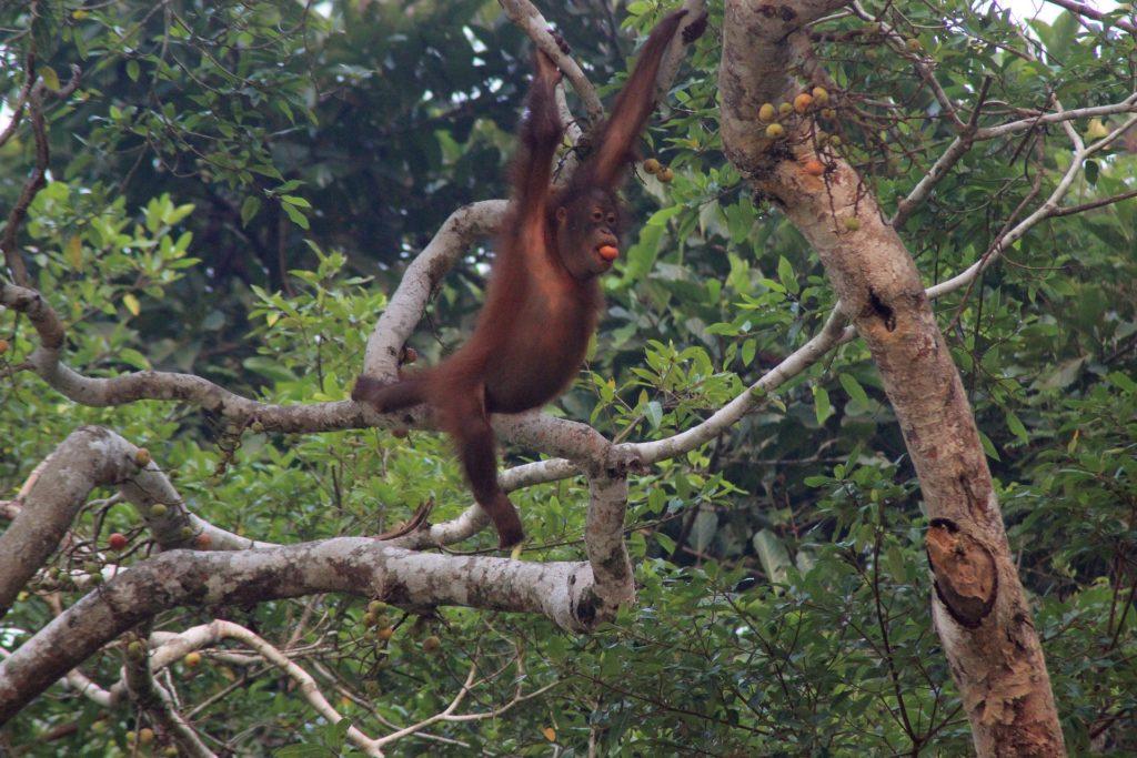 дикий орангутанг возле реки Кинабатанган